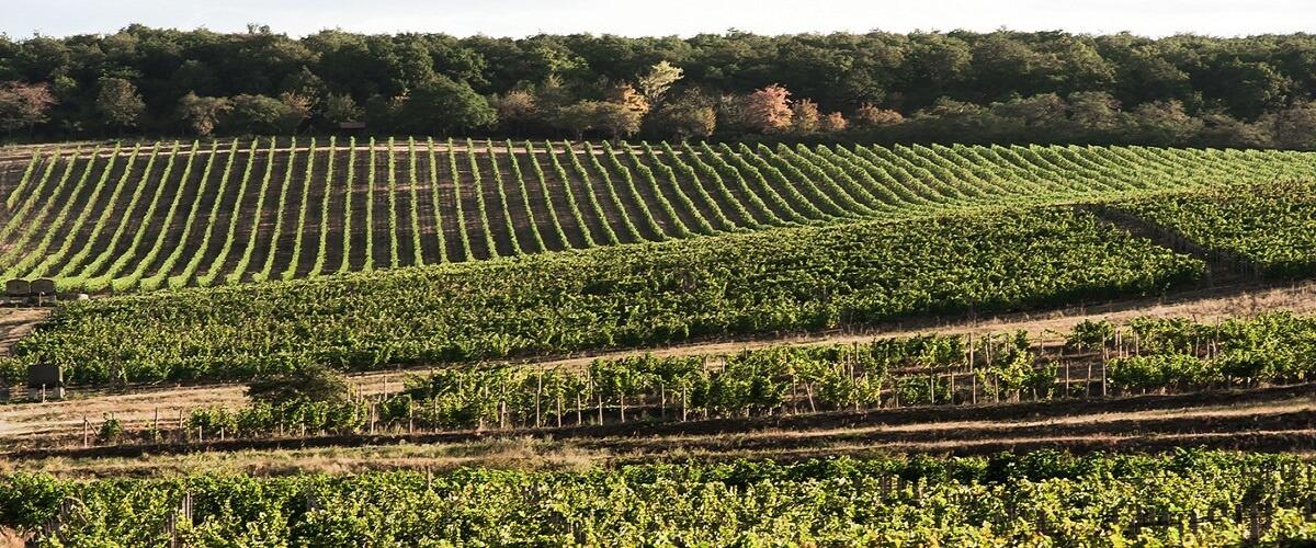 vinohrady pod lesom